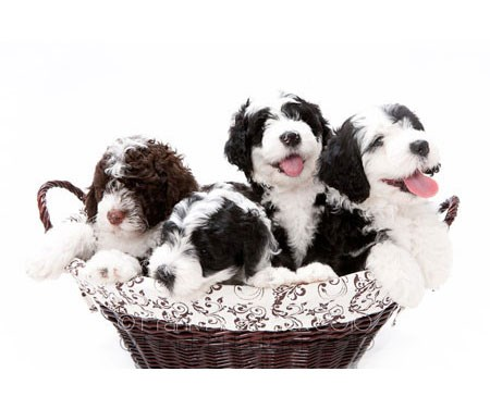 Puppy Application for Portuguese Water Dogs